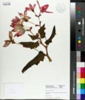 Image of Begonia boliviensis