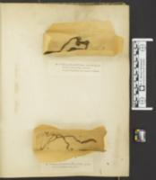 Ophiocordyceps ravenelii image