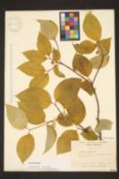 Image of Cornus acadiensis