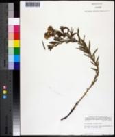 Image of Lithospermum croceum