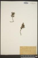 Convolvulus cneorum image