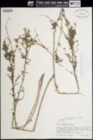Dalea versicolor image