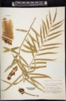 Image of Aglaomorpha rigidula