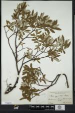 Salix argyrocarpa image