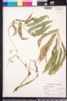 Bambusa oldhamii image