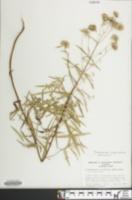 Image of Pycnanthemum torrei