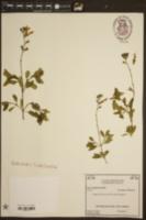 Image of Salvia blepharophylla