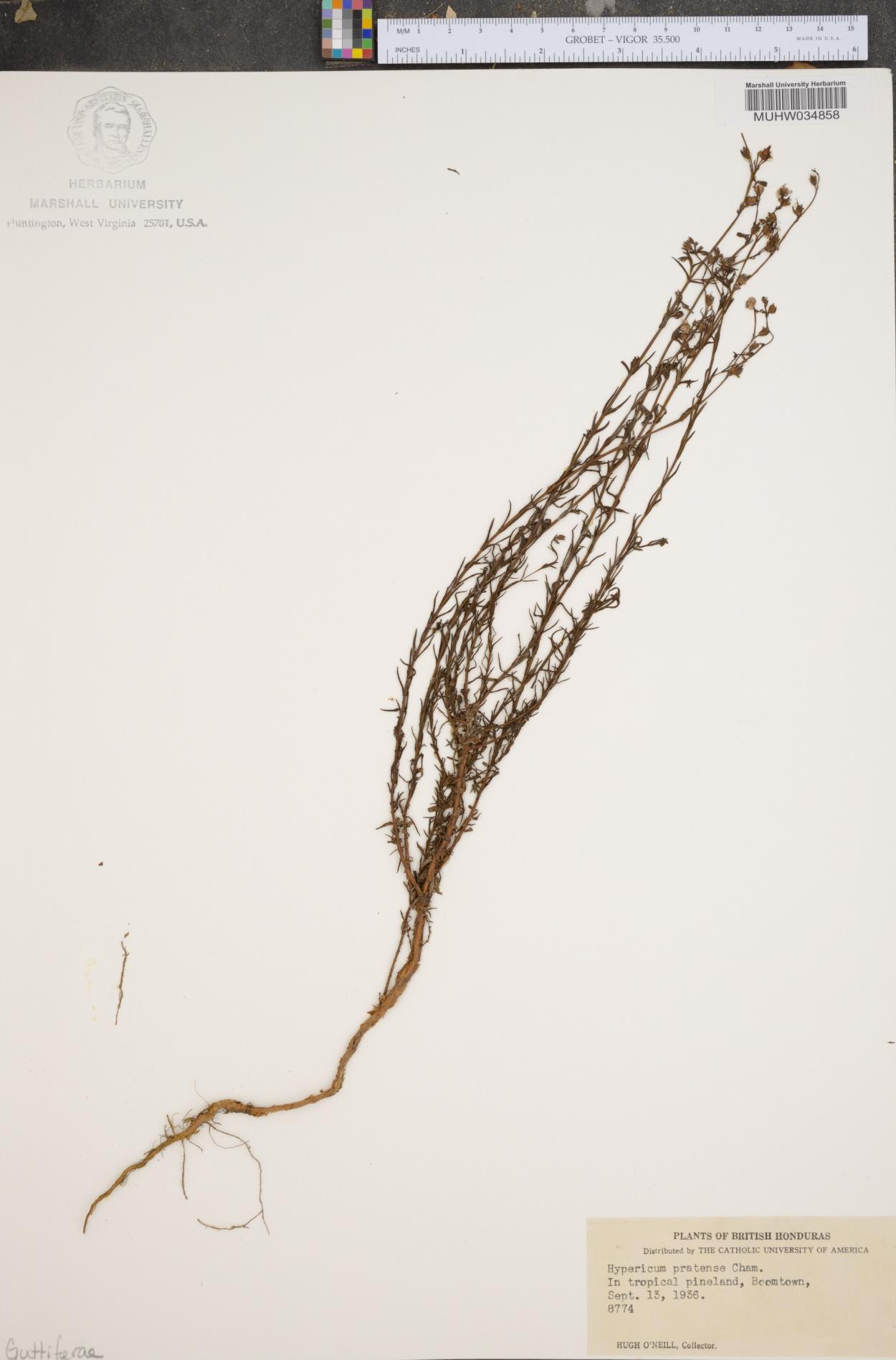 Hypericum pratense image