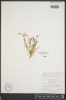 Image of Arenaria muriculata