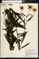 Image of Helianthus carnosus