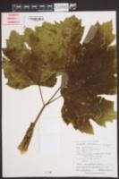 Heracleum maximum image