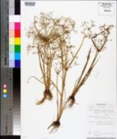 Image of Cyperus tenuispica