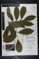 Image of Castanea alabamensis