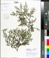 Image of Cupressus x ovensii