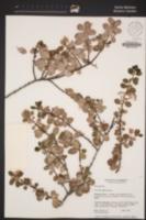 Ceanothus purpureus image