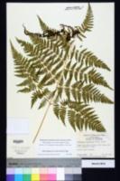 Macrothelypteris torresiana image