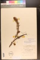 Myriophyllum aquaticum image