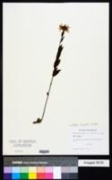 Image of Callilepis laureola