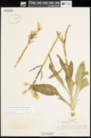 Senecio integerrimus var. exaltatus image