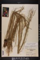 Aristida beyrichiana image