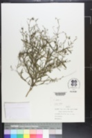 Image of Tragia linearifolia