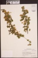 Crataegus marshallii image