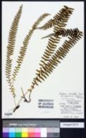 Image of Lindsaea merrillii