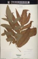 Image of Meniscium macrophyllum