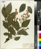 Image of Clausena lansium