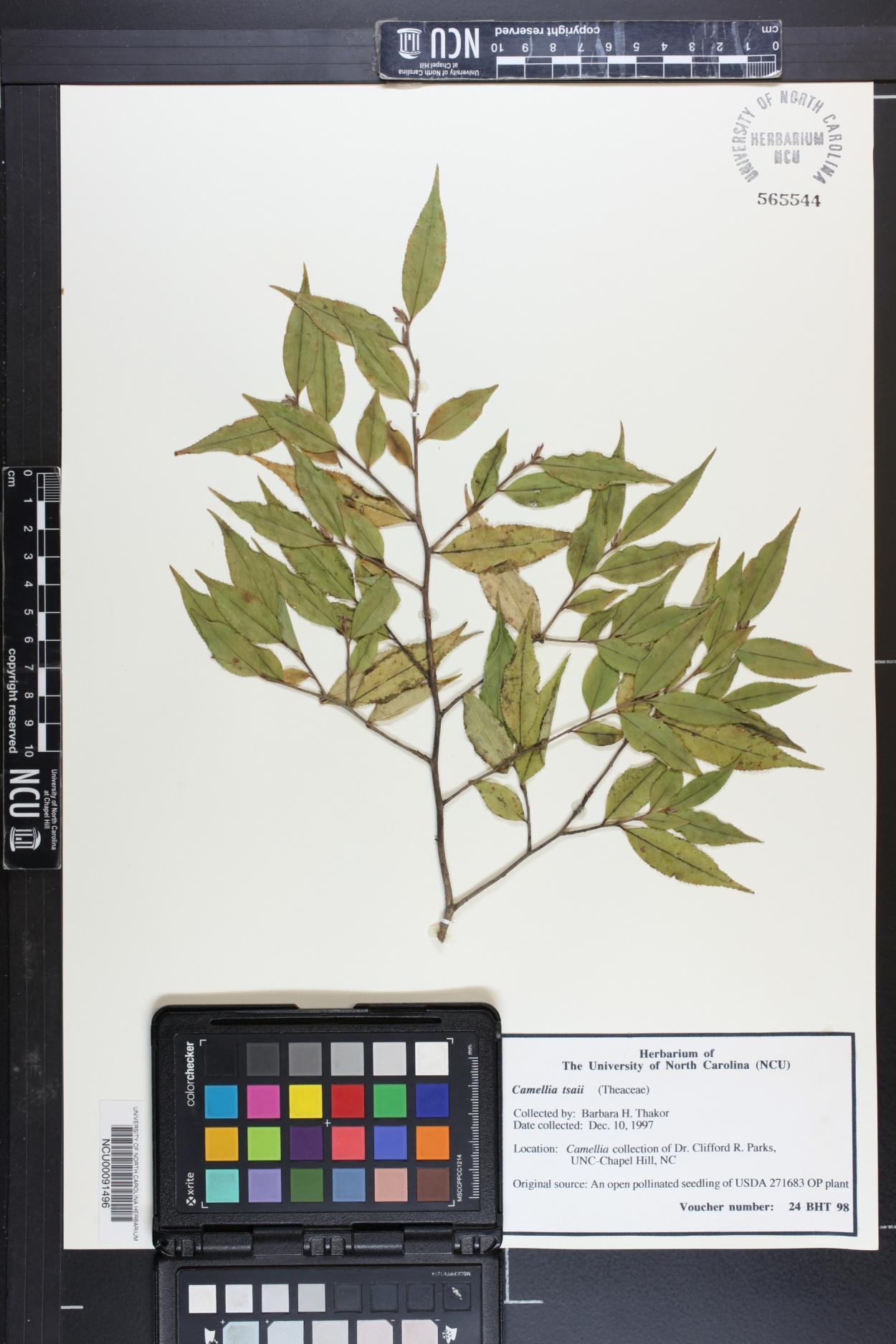 Camellia tsaii image