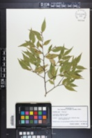 Image of Camellia tsaii