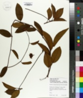 Kadsura longipedunculata image