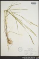 Alopecurus carolinianus image