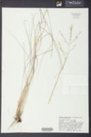 Tridens buckleyanus image
