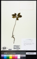 Guapira fragrans image