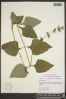 Salvia urticifolia image