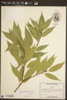 Image of Quercus myrsinifolia
