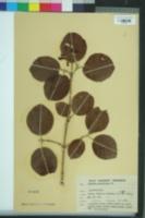 Image of Viburnum cotinifolium