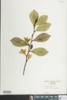 Image of Magnolia figo