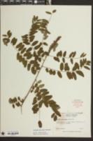 Image of Amorpha schwerinii