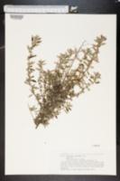 Image of Forsskaolea angustifolia