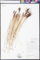 Eleocharis erythropoda image