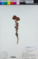 Eriogonum arborescens image