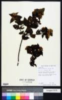 Calea urticifolia image