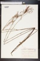 Image of Delopyrum gracile