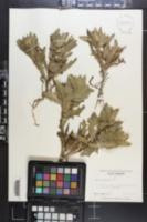 Centaurea benedicta image