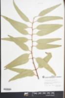 Eucalyptus papuana image
