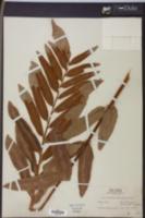 Acrostichum excelsum image