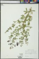 Psoralidium tenuiflorum image