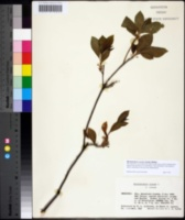Rhododendron roseum image